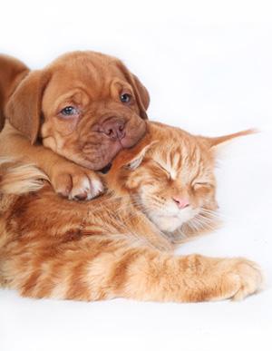 Bordeauxdoggen-Welpe und Coon-Katze kuscheln miteinander.