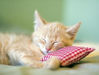 Kitten mit Kissen
