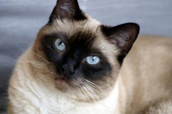 Siamkatze - eine sehr bekannte Katzenrasse