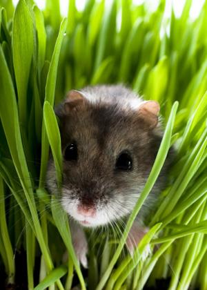 Kleintier Hamster im Gras