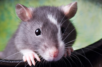 Ratte als Haustier